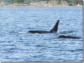 orcas 4